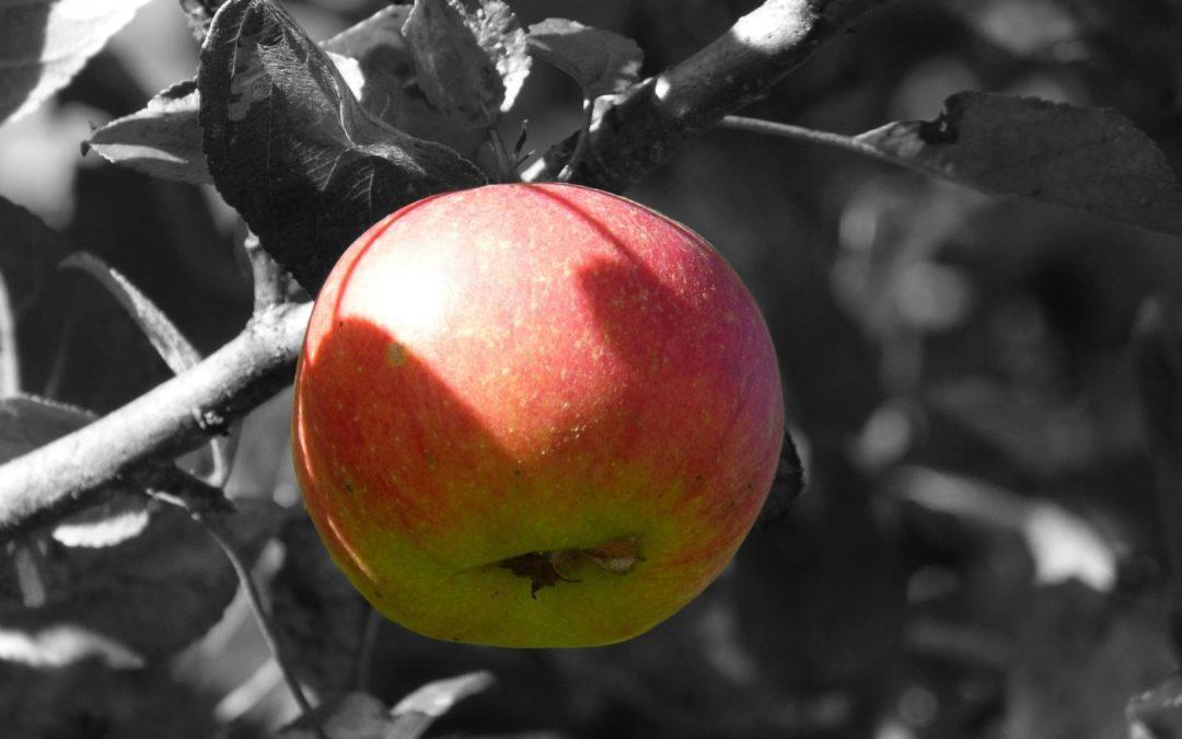 Pas d'automne, sans pommes !